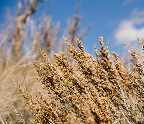 sagebrush seeds