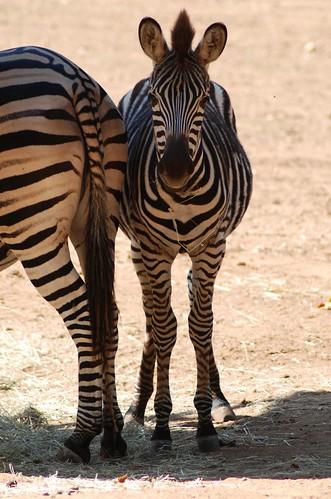Chapman-Zebra im Zoo de La Flèche