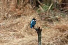 四季の森公園のカワセミ(Kingfisher at Shikinomori park, Japan)