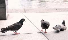 Pigeons_20100317_006x