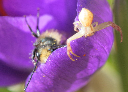 Blue Orchard Bee and crab spider