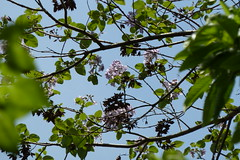 三保市民の森のキリ(Paulownia at Miho Community Woods, Japan)