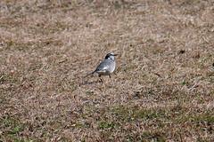 ハクセキレイ(White hagtail at Shikinomori park, Japan)