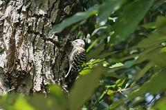金沢自然公園のコゲラ(Pygmy Woodpecker at Kanazawa Nature Park, Japan)