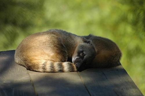 Südamerikanische Nasenbären  im Zoo Parc de Beauval