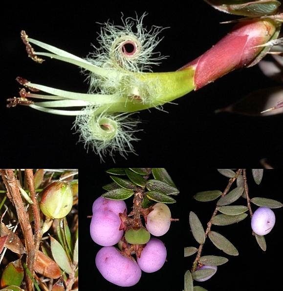 Epacrid fruit montage 5