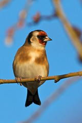 goldfinch by the black fox, on Flickr