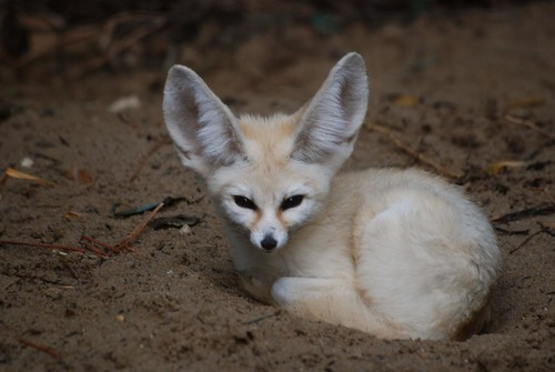 """Fennek im Zoo de La Palmyre """"Fennec Fox"""""""