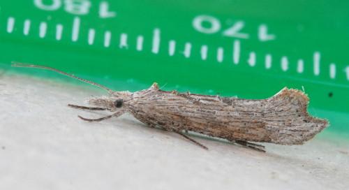 2380 - Ypsolopha falciferella
