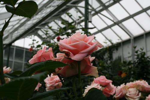 Rose garden in Conservatory