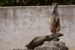 Erdmännchen im Parc Zoologique de La Bourbansais