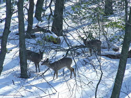 three deer in snowy woods 3