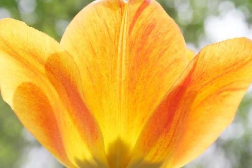 Our Tulip 2