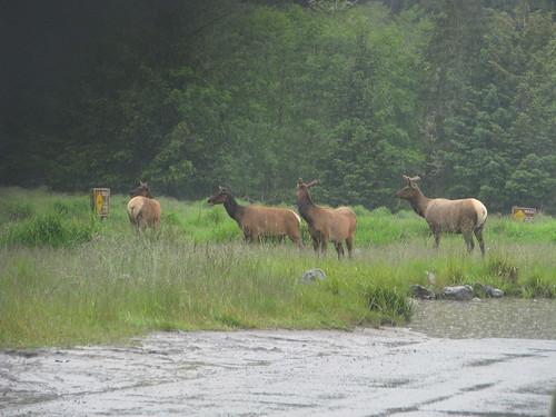 77 - Elk - 20100525