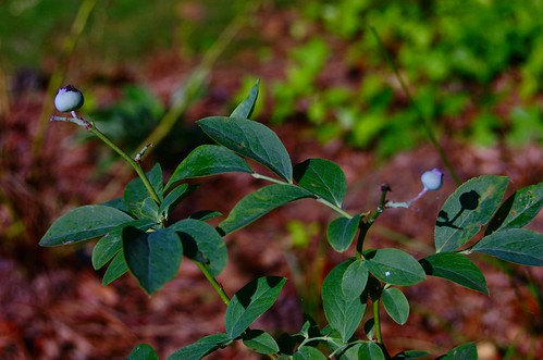 few blueberries