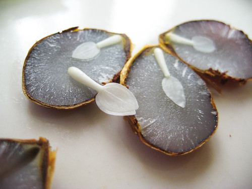 Image result for persimmon tree seed fork knife spoon