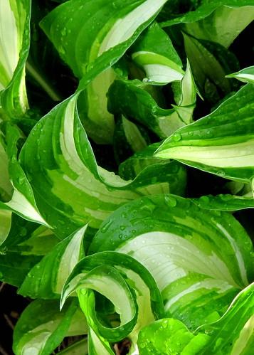 variegated hosta