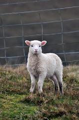 a cute little lamb