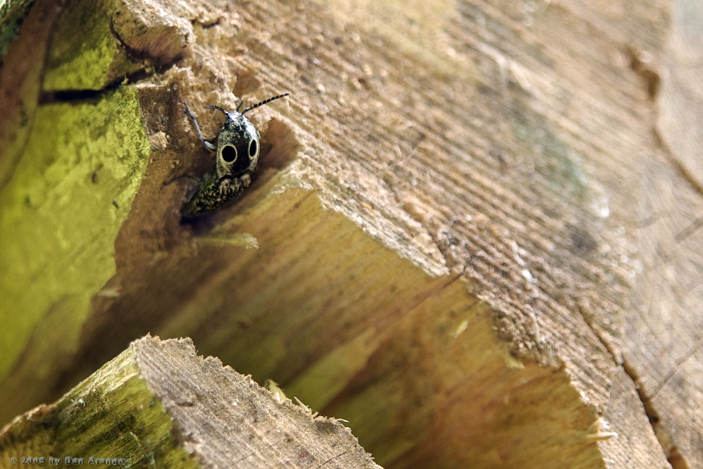 Eyed click beetle (Alaus ocuilatus)
