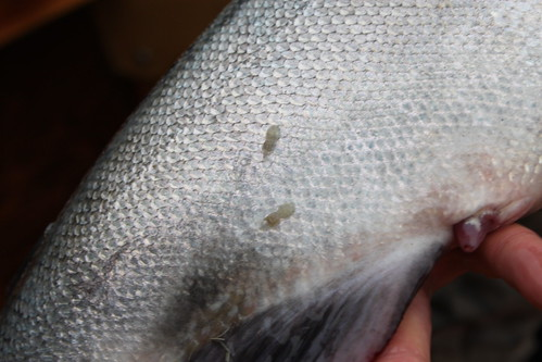 Sea-Lice, Hen Chinook, Siuslaw River, OR