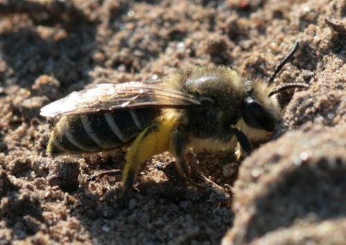 Mining bee