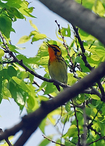 Sandy Hook: Blackburnian Warbler 2