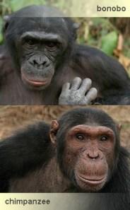 Resultado de imagen de bonobo y chimpancé