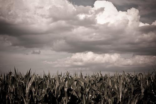 {190/365} corn field
