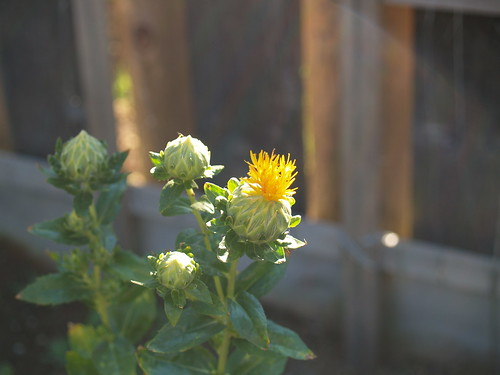 Safflower emerging