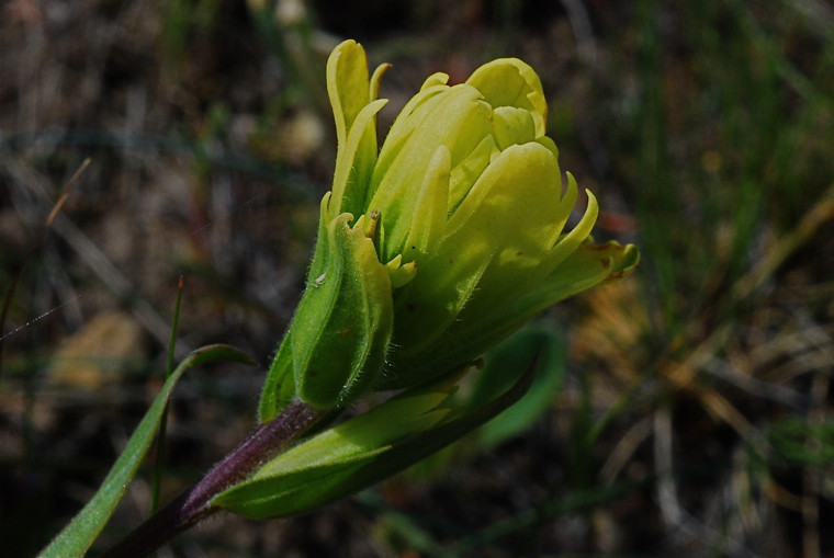 Yellow Indian Paintbrush