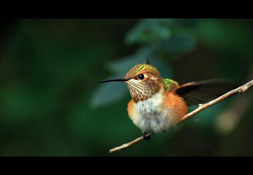 Hummingbird at Rosario Beach V
