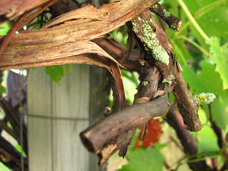 Photo closeup of some grape vines