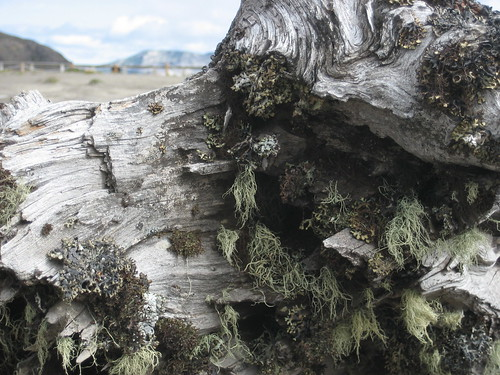 tree bark with mt. st. helens in the background