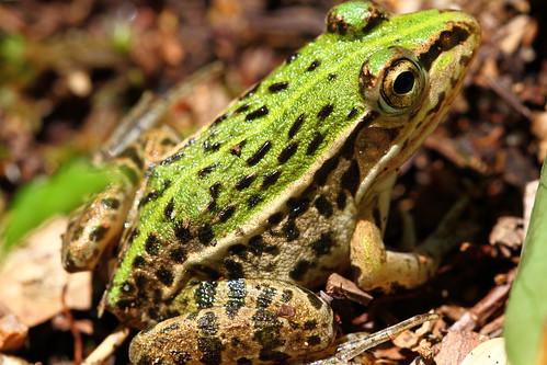 Mini-frog 3