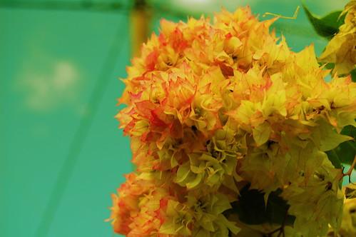 Timor Flowers, Kind of Like Leaves