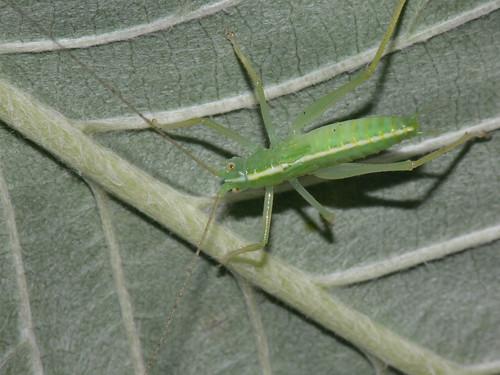 Oak Bush Cricket ( Meconema thalassinum) nymph