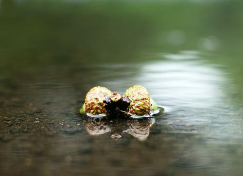 Acorns in puddle