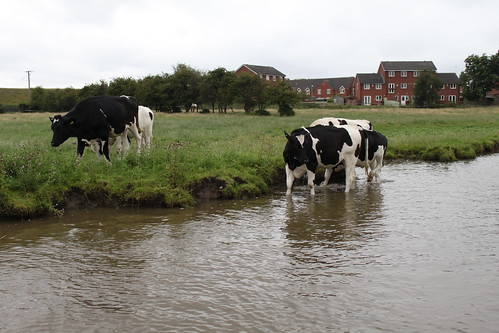 Cows drinking from the canal