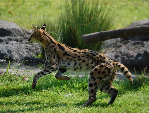 Cleo the Serval