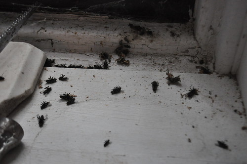 dead flies by the window