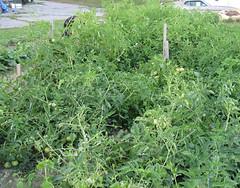 garden-tomatopatch