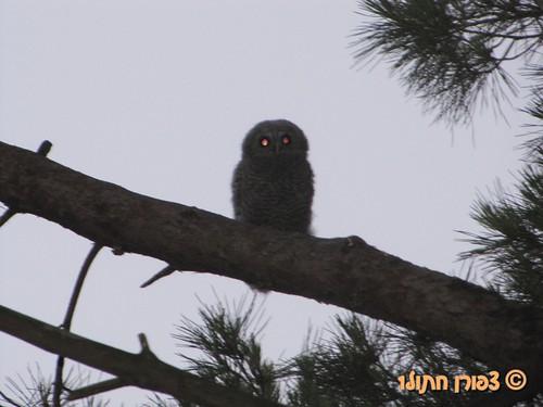 baby Eruasian Tawny Owl