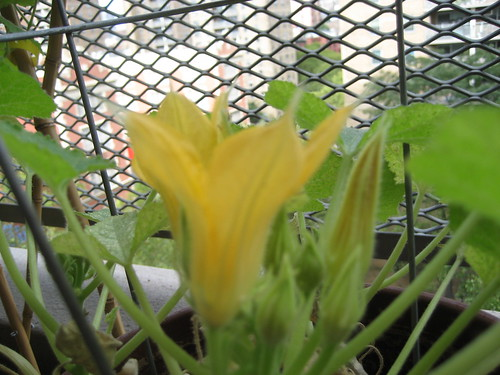 Squash Blossms, only 1