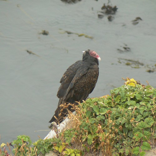 Turkey Vulture at the beach