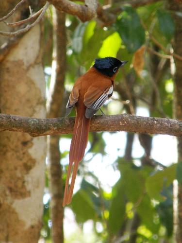 Papamoscas paraíso de Madagascar (Terpsiphone mutata)