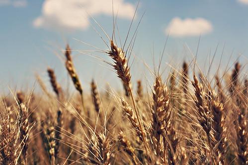 IMG_6282wheat