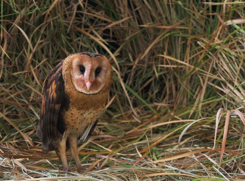 草鴞 | 臺灣環境資訊協會-環境資訊中心