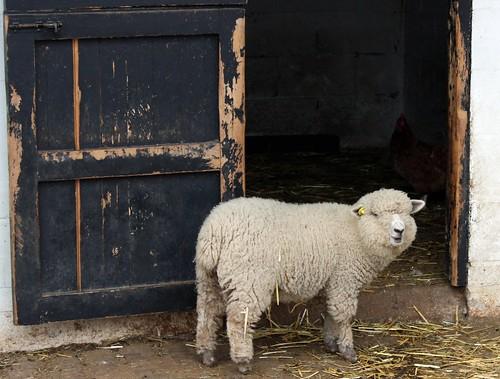 Dock Farm Sheep