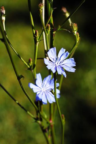 Chicory-Blossom-1