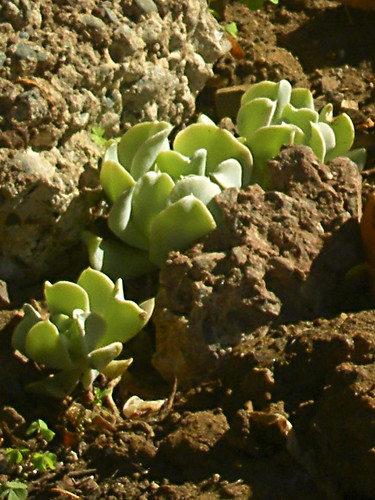 Cotyledon orbiculata, before photo